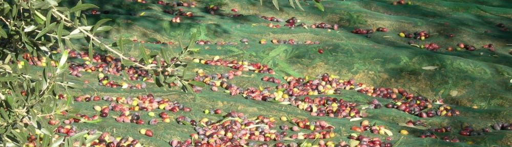Olivarbo - récolte à Pradines