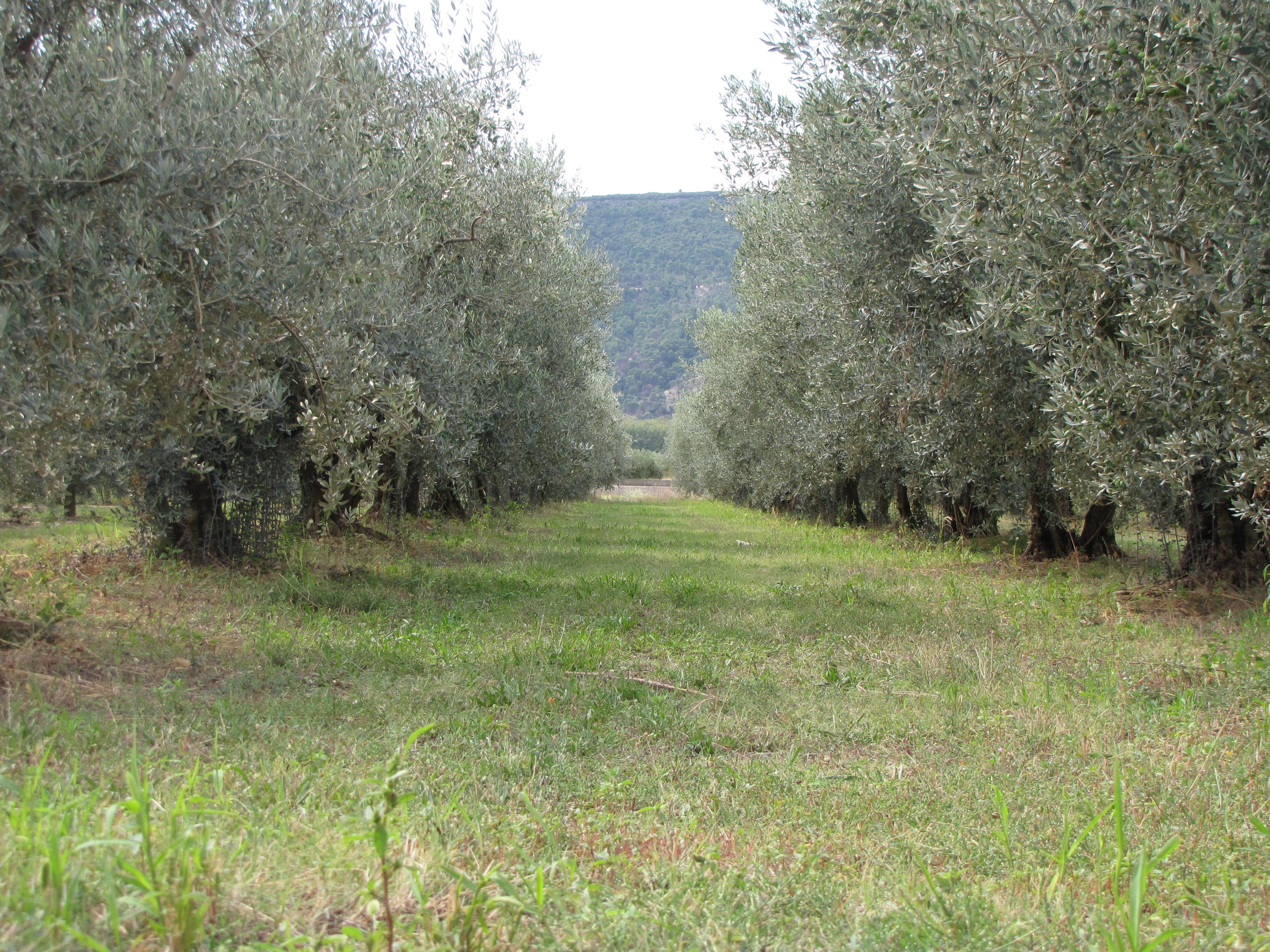 Olivier fertilisation engrais conseil c lia gratraud - Engrais pour olivier ...