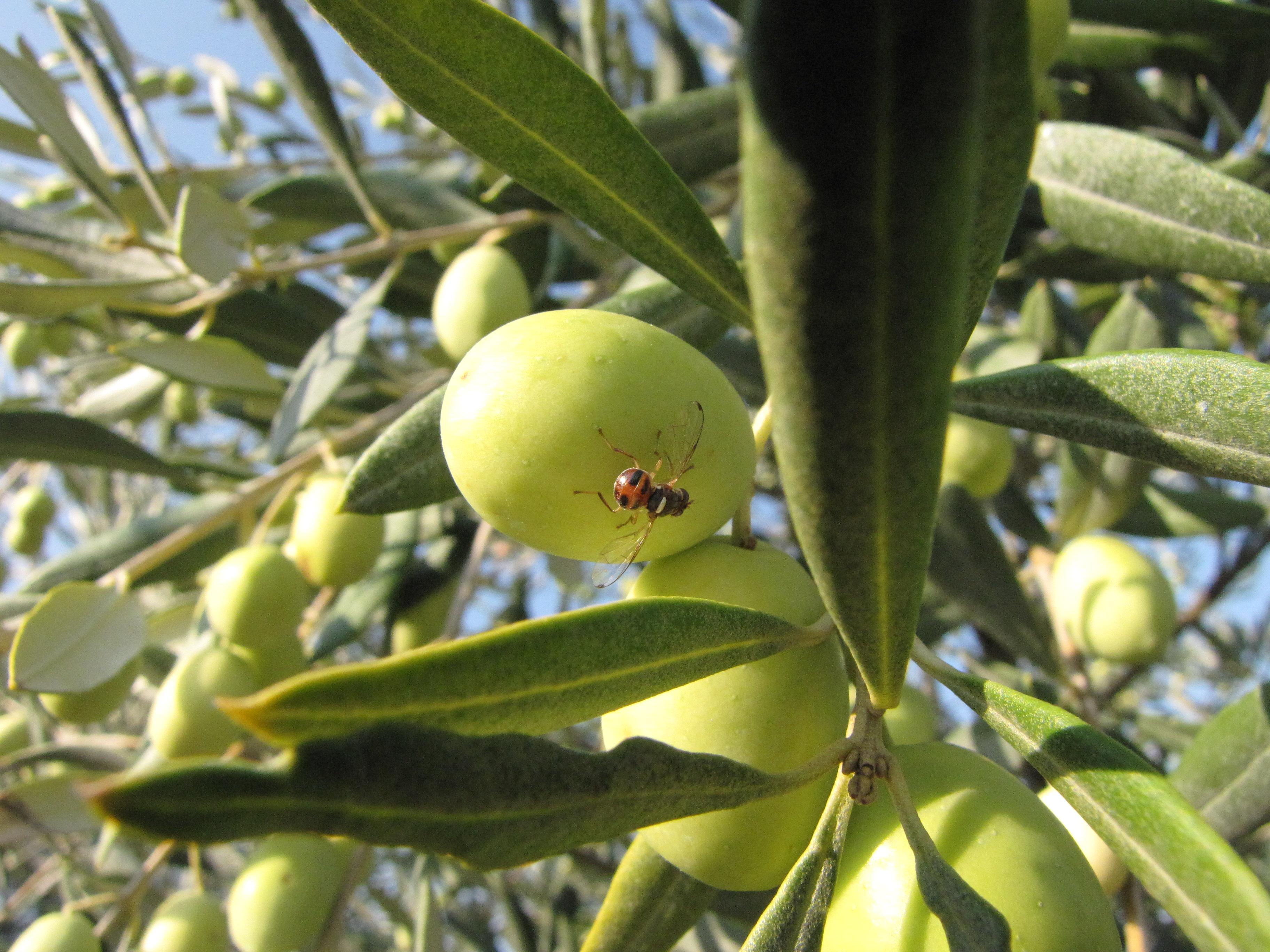 Le conseil du moment sur l olivier soyez attentifs la mouche de l olive est l c lia gratraud - Insecticide mouche de l olive ...