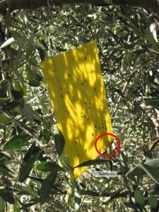piège à mouche de l'olive modèle piège sexuel