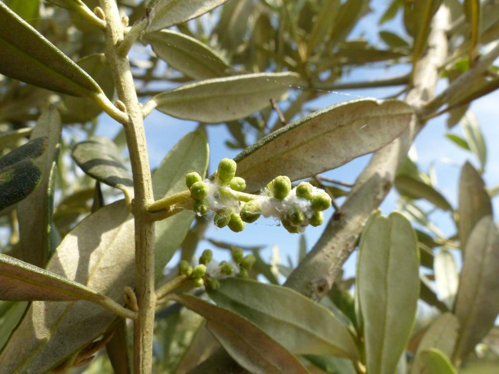 le conseil du moment sur oliviers qu est ce que le coton sur les fleurs d olivier. Black Bedroom Furniture Sets. Home Design Ideas