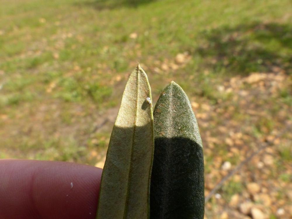 Le conseil du moment sur oliviers qu est ce que le coton sur les fleurs d olivier - Tache de gras sur coton ...