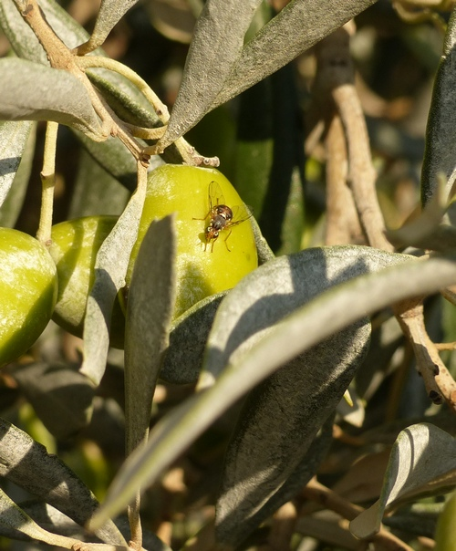Olivier mouche de l olive conseil pi geage c lia gratraud - Insecticide mouche de l olive ...