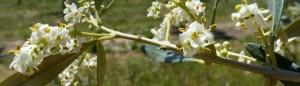 fleurs d'olivier.jpg