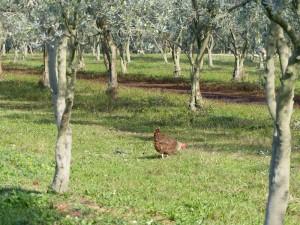 poule dans olivier