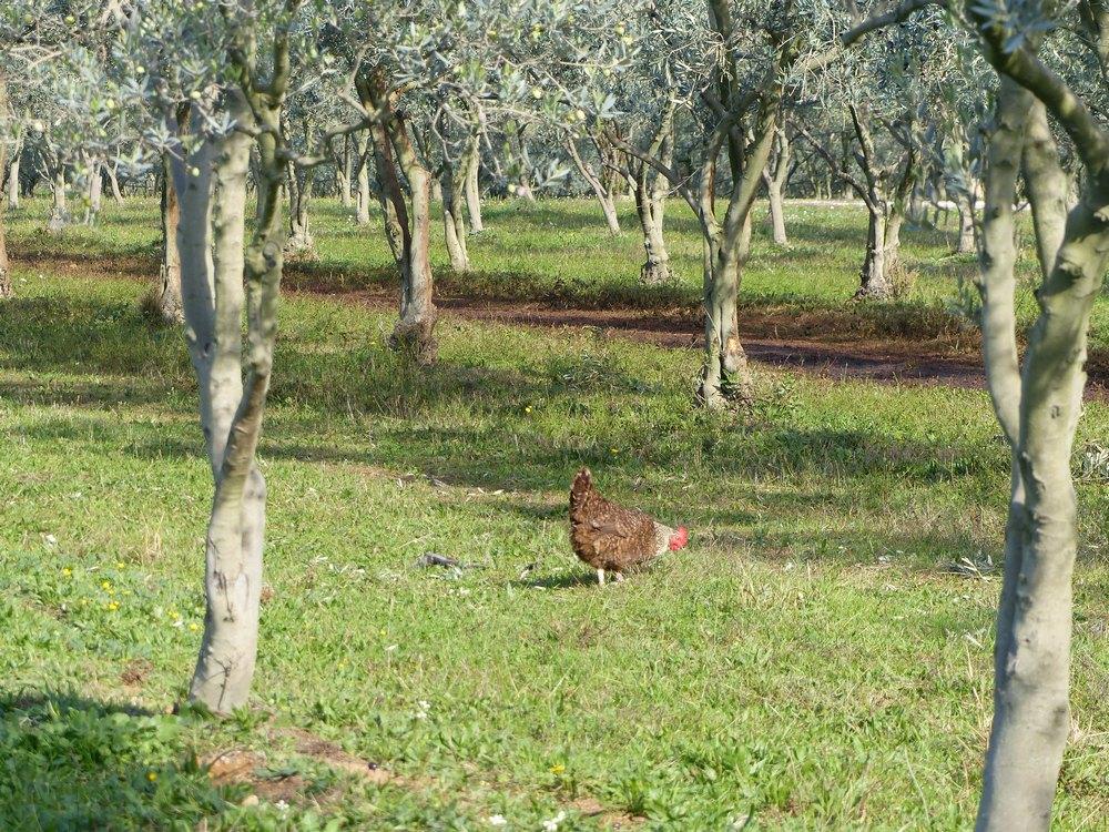 calendrier annuel d'entretien de l'olivier   célia gratraud