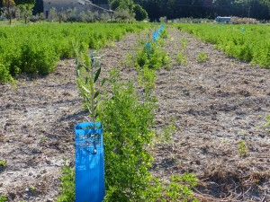 plantation de jeunes plants d'oliviers