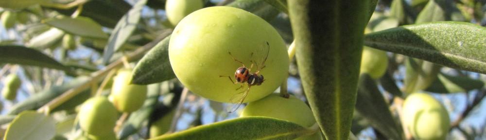 Olivarbo - La mouche de l'olive