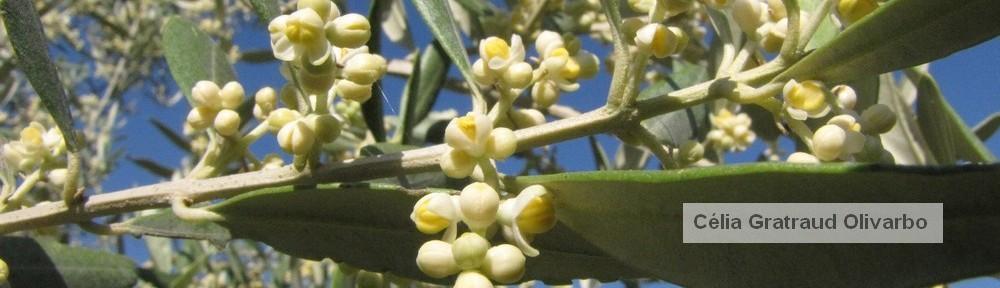 Olivarbo - Floraison olivier