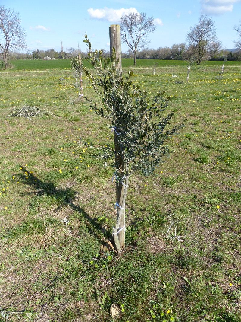 Il Cultive L Olivier olivarbo | célia gratraud